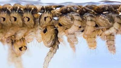GMO Mosquitoes: What You Need to Know
