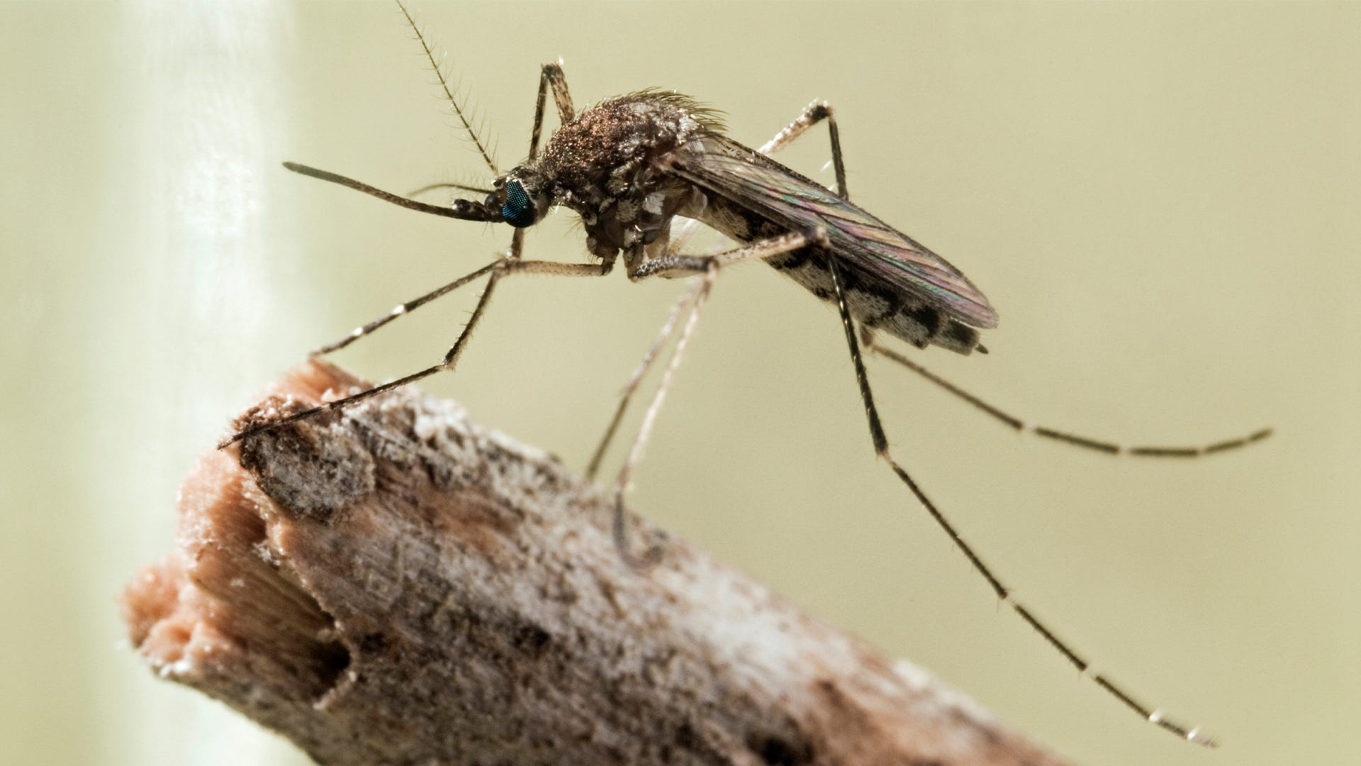 How Big Can Mosquitoes Get?