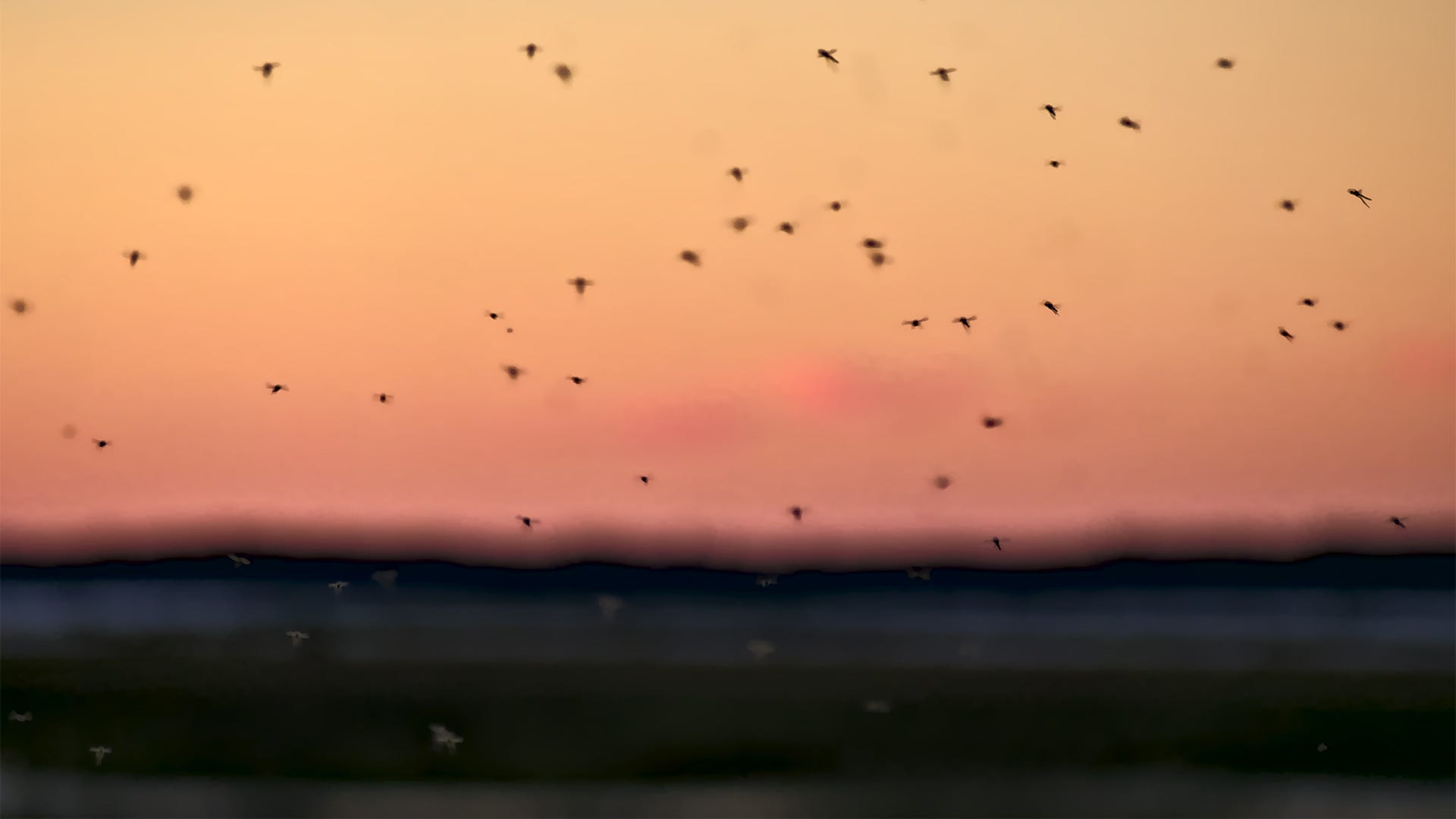 How Far Do Mosquitoes Fly?