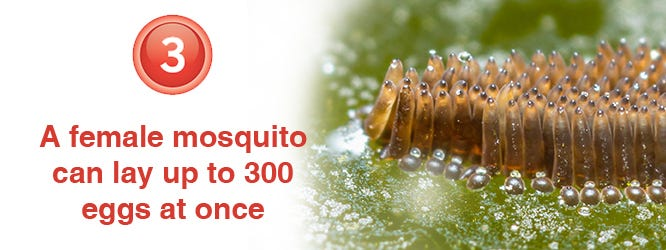 How many eggs do mosquitoes lay