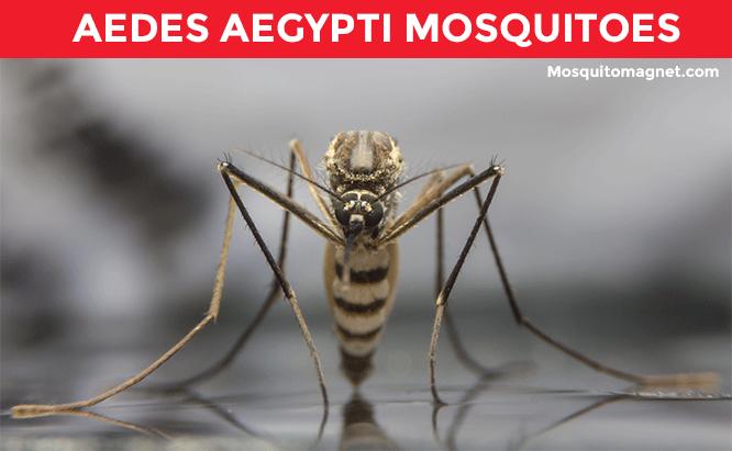 aedes egypti mosquito
