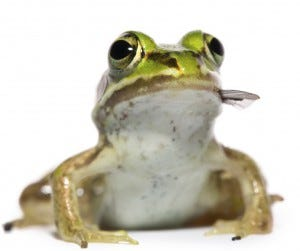 frogs eat mosquitoes
