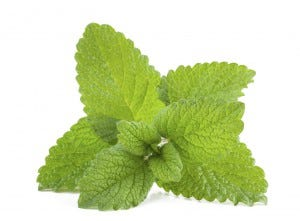 scents that repel mosquitoes lemon balm
