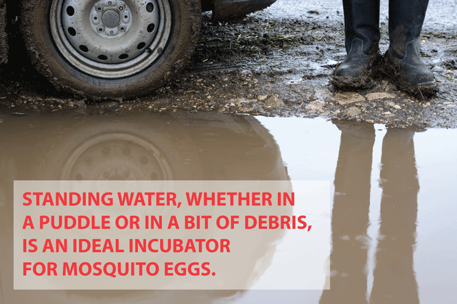 mosquitoes breeding in puddles