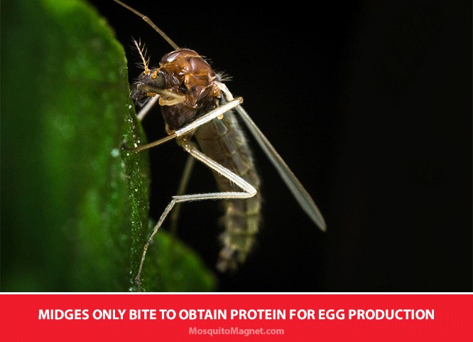 Facts About Midges: What Attracts Midges