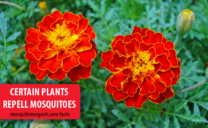 landscaping for mosquitoes plants that repell