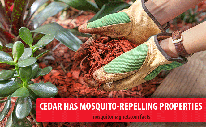 landscaping for mosquitoes cedar scents