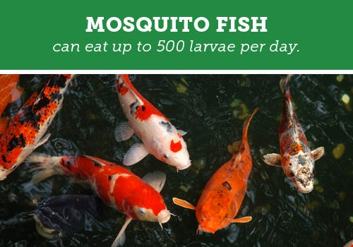 Mosquito Fish