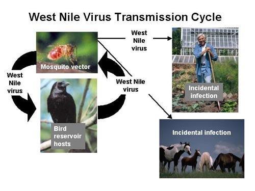 West Nile Virus Transmission Cycle